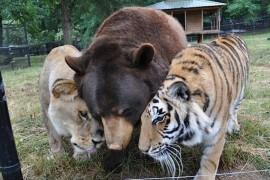 صور / فيديو : أسد ونمر ودب .. أصدقاء ويعشون في مكان واحد