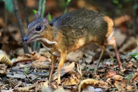 فيديو : حيوان غريب شكله غزال على فأر !