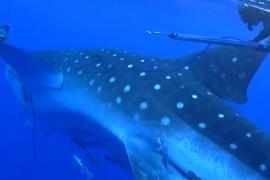 فيديو : قرش الحوت يهاجم غواصين تحت الماء !