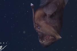 فيديو : لأول مرة يتم تصوير سمكة الأعماق ذات المصباح